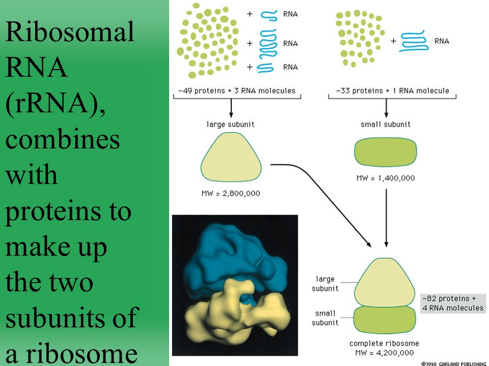 Ribosomal RNA (rRNA), combines with proteins to make up the two subunits of a ribosome