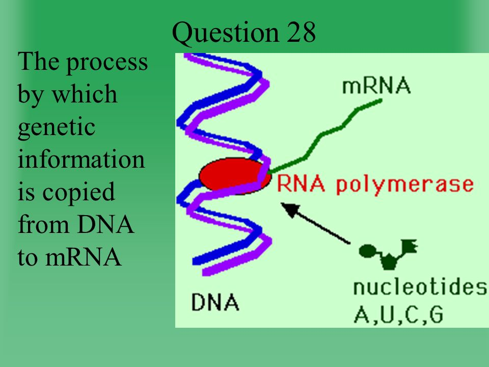 Question 28 The process by which genetic information is copied from DNA to mRNA