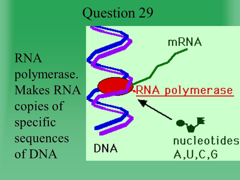 Question 29 RNA polymerase. Makes RNA copies of specific sequences of DNA