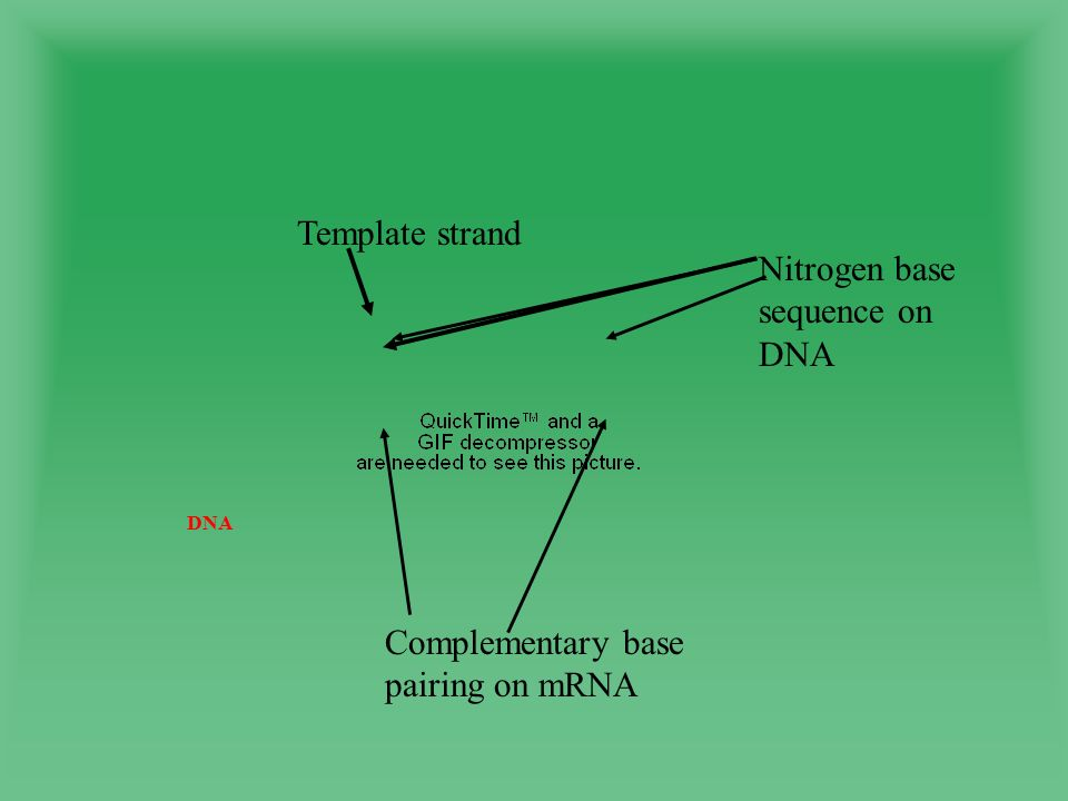 DNA Template strand Nitrogen base sequence on DNA Complementary base pairing on mRNA