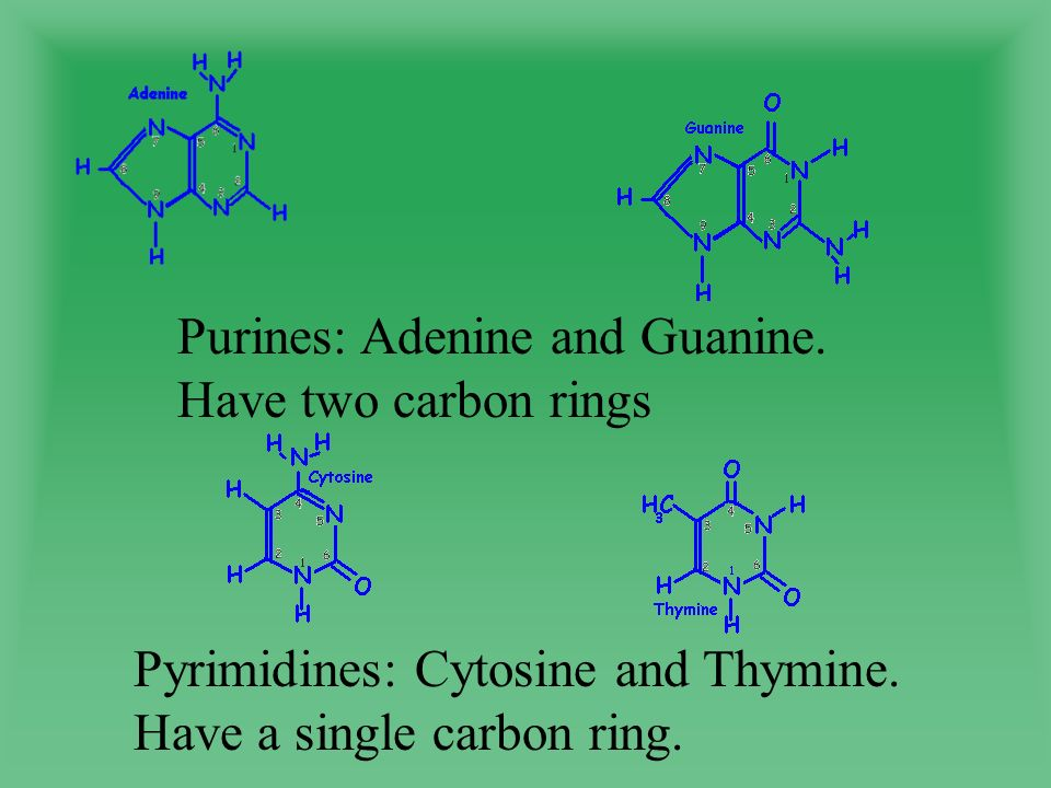 Purines: Adenine and Guanine. Have two carbon rings Pyrimidines: Cytosine and Thymine.