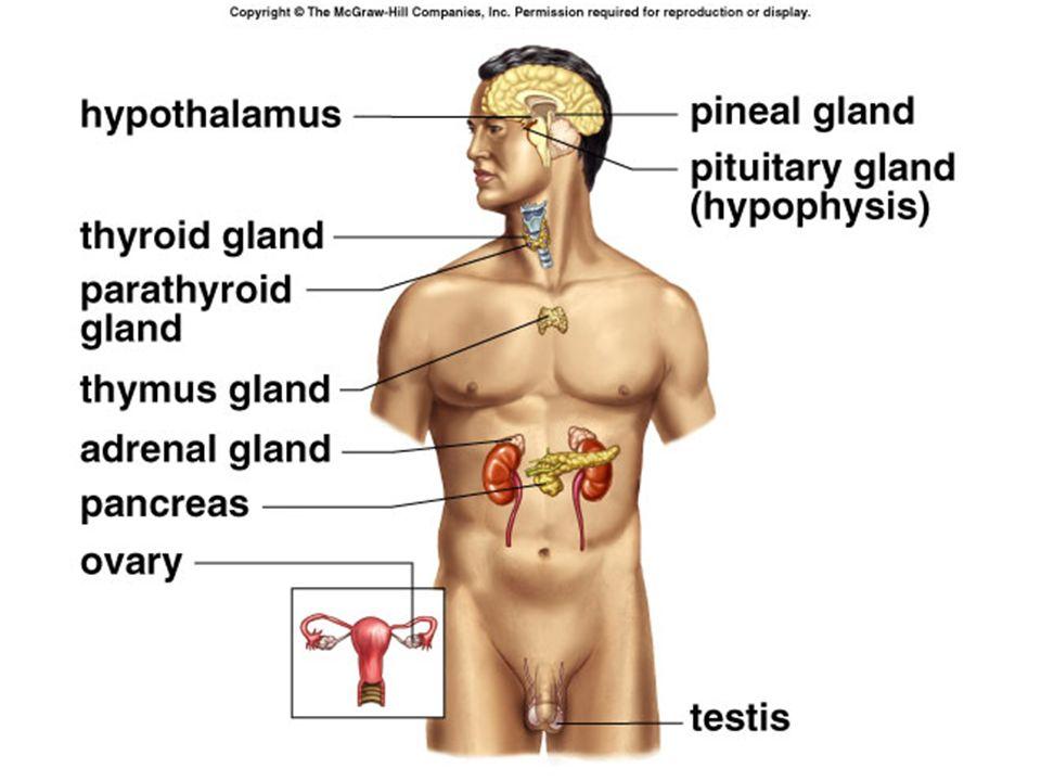 Endocrine System Hormones Endocrine Glands Endocrine Glands Make