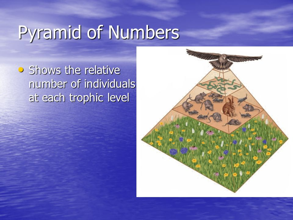 Pyramid of Numbers Shows the relative number of individuals at each trophic level Shows the relative number of individuals at each trophic level