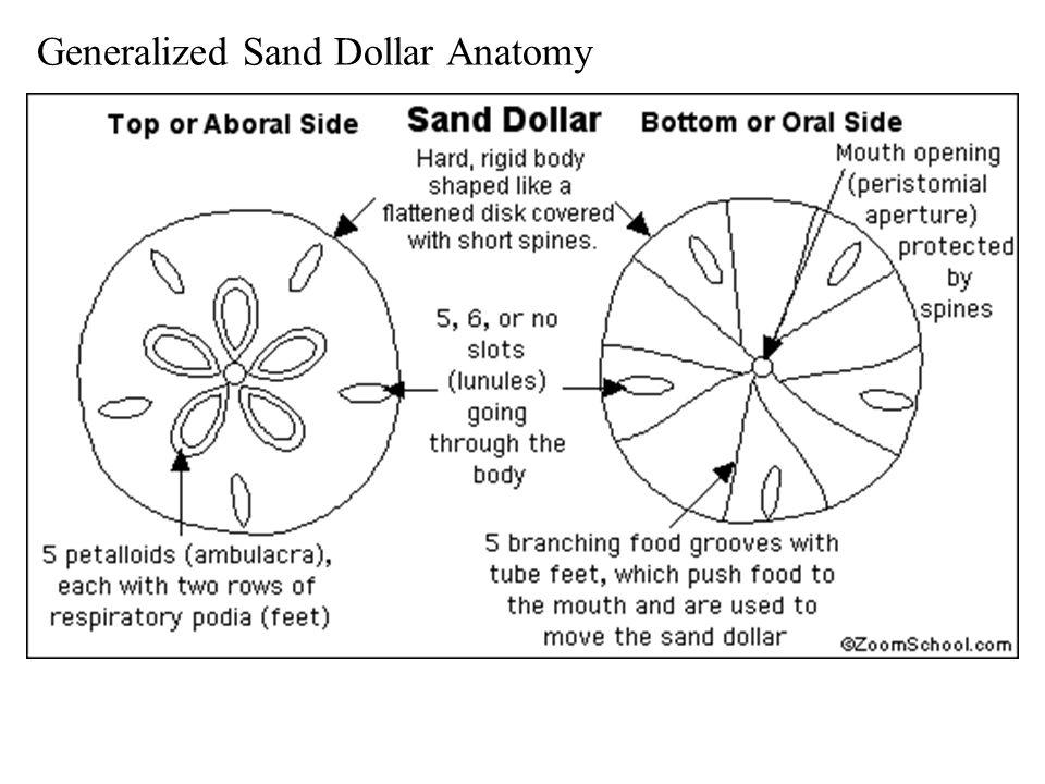 Sand Dollar Anatomy Diagram - DIY Enthusiasts Wiring Diagrams •