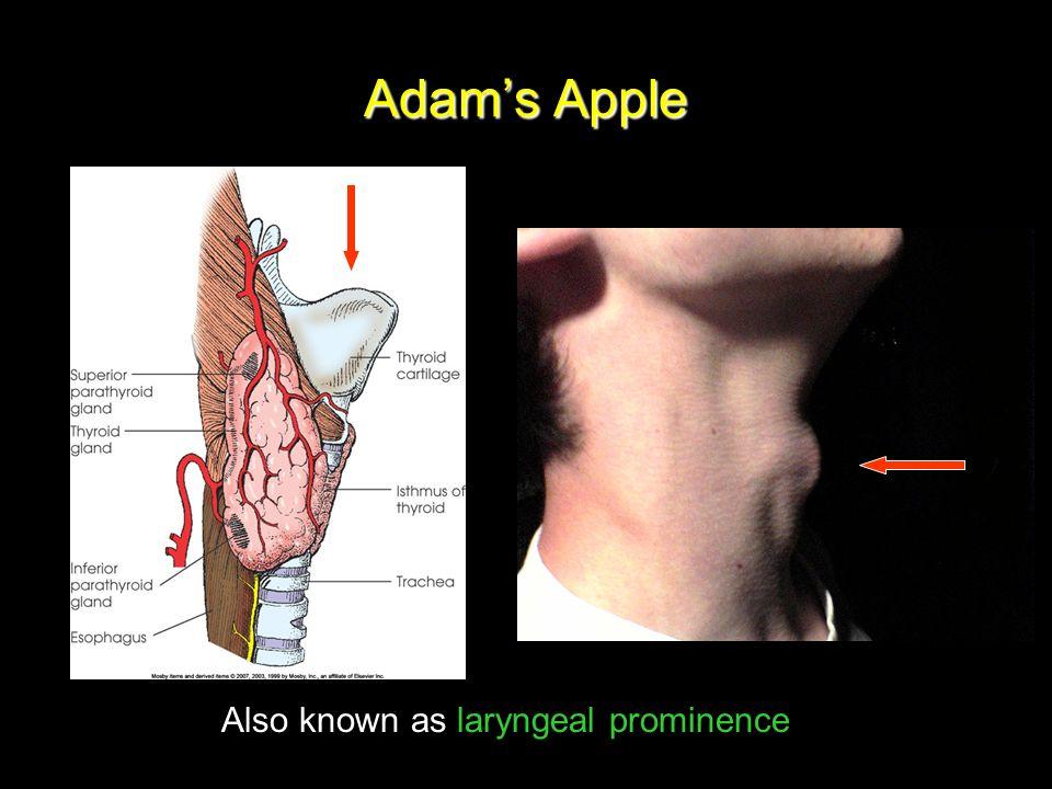 Chapter 15 Soft Tissue Neck Pharynx Larynx Thyroid Gland 2 24