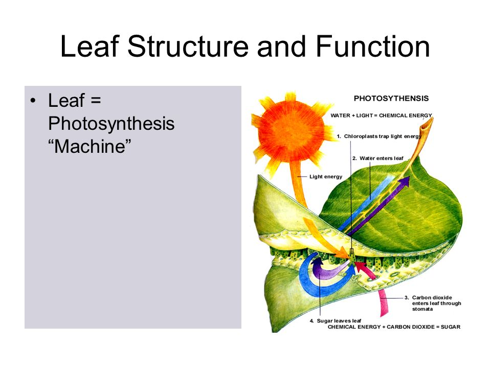 Leaf Notes Leaf Diagram Evolution Of Photosynthesis First Organisms
