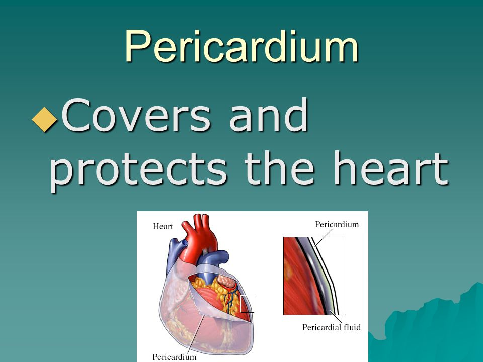 Pericardium  Covers and protects the heart
