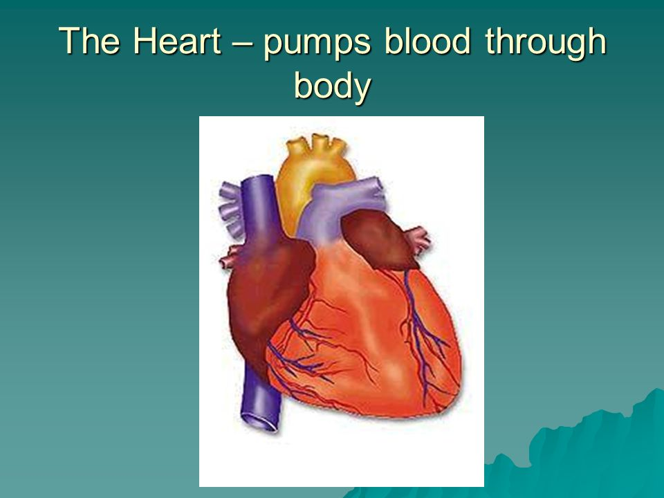 The Heart – pumps blood through body