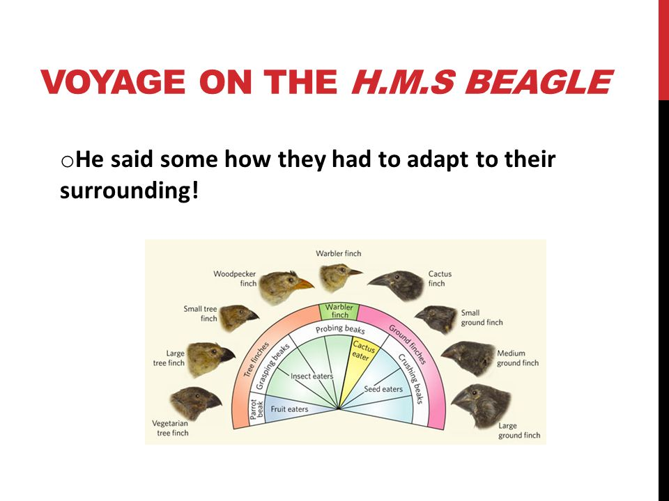 VOYAGE ON THE H.M.S BEAGLE o He said some how they had to adapt to their surrounding!
