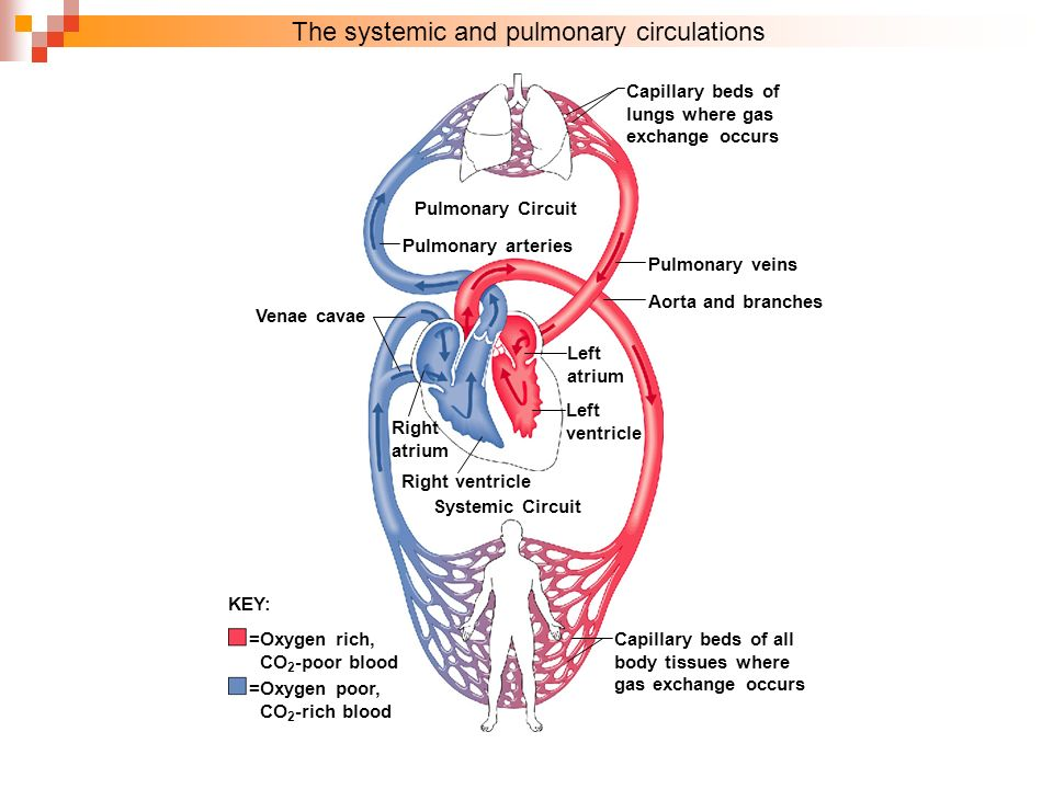 Cardiovascular blood vessels respiratory system diagrams for the systemic and pulmonary circulations ccuart Images