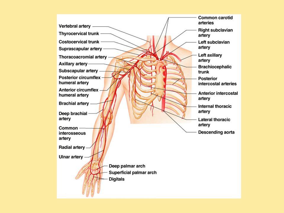 BIOL 204 – Week 4 Lab Electrocardiography Human Arteries and Veins ...