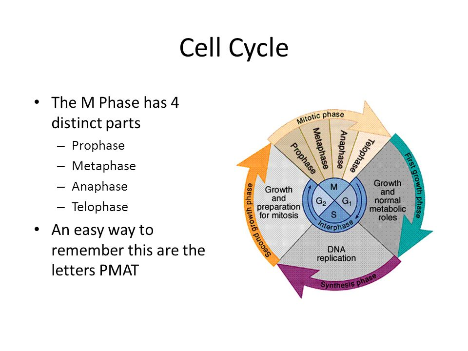 Mitosis. Cell Cycle Just like many other organisms cells have ...