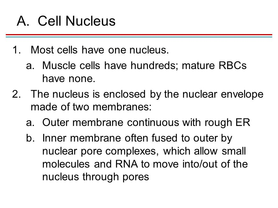 A.Cell Nucleus 1.Most cells have one nucleus. a.Muscle cells have hundreds; mature RBCs have none.