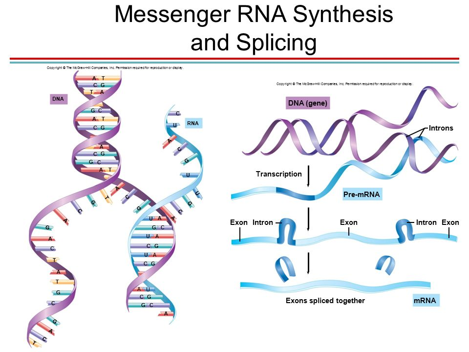 1. Messenger RNA Synthesis and Splicing Copyright © The McGraw-Hill Companies, Inc.