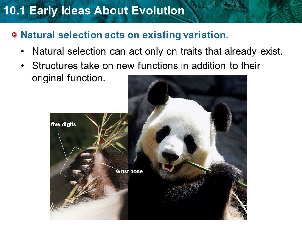 10.1 Early Ideas About Evolution Natural selection can act only on traits that already exist.