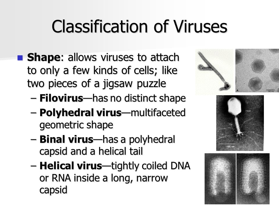 Classification of Viruses Shape: allows viruses to attach to only a few kinds of cells; like two pieces of a jigsaw puzzle Shape: allows viruses to attach to only a few kinds of cells; like two pieces of a jigsaw puzzle –Filovirus—has no distinct shape –Polyhedral virus—multifaceted geometric shape –Binal virus—has a polyhedral capsid and a helical tail –Helical virus—tightly coiled DNA or RNA inside a long, narrow capsid