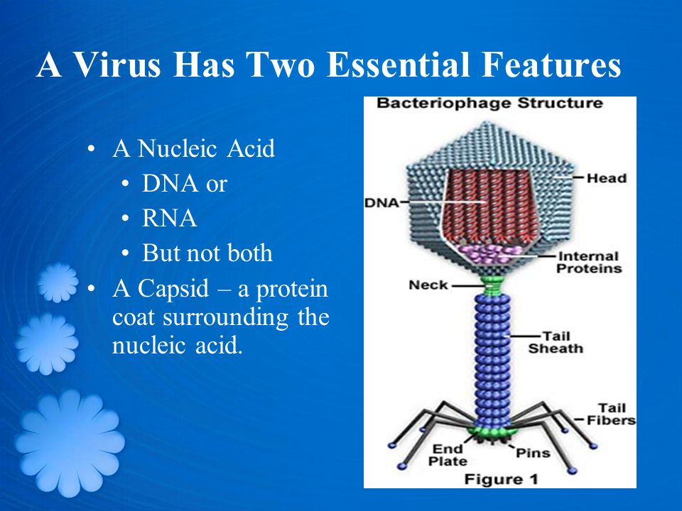 A Virus Has Two Essential Features A Nucleic Acid DNA or RNA But not both A Capsid – a protein coat surrounding the nucleic acid.