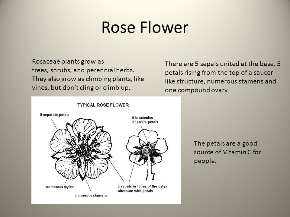 Typical Rose Flower Diagram - Data Wiring Diagrams •
