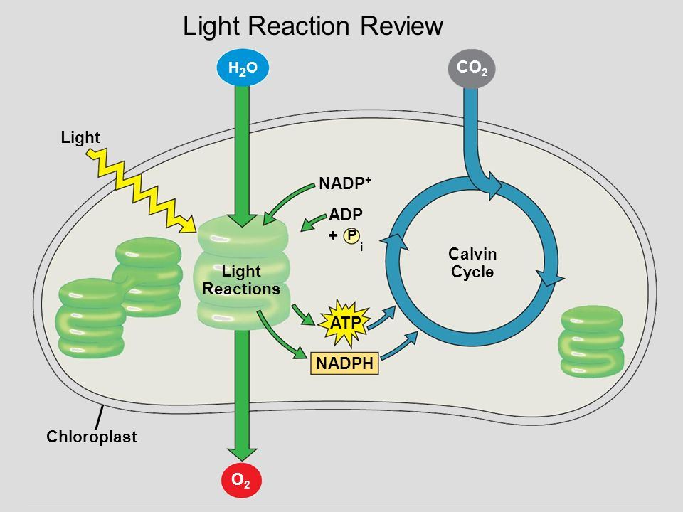 Lecture 4 Outline Ch 10 11 Ight Reactions A Photosystems B