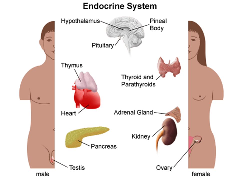 Endocrine System Overview Physically disconnected Controls growth ...