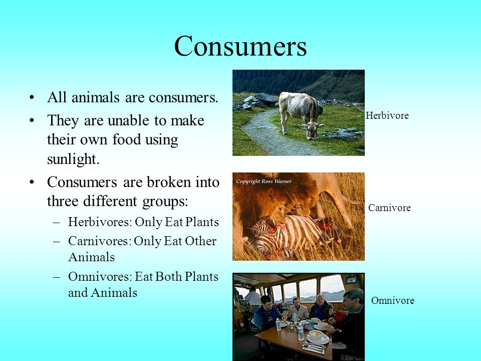 Consumers All animals are consumers. They are unable to make their own food using sunlight.