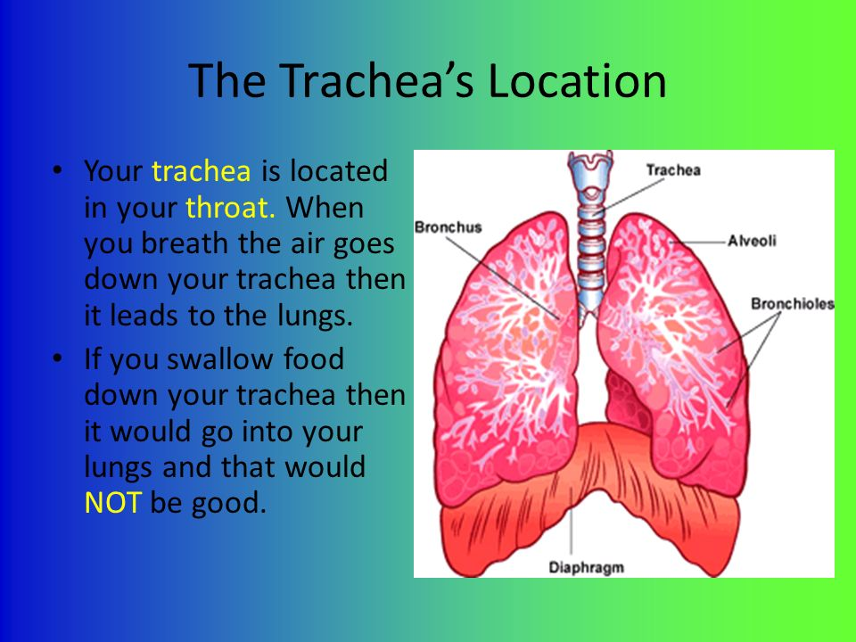 Lungs And Trachea By Tori The Lungs Location The Lungs Are Located