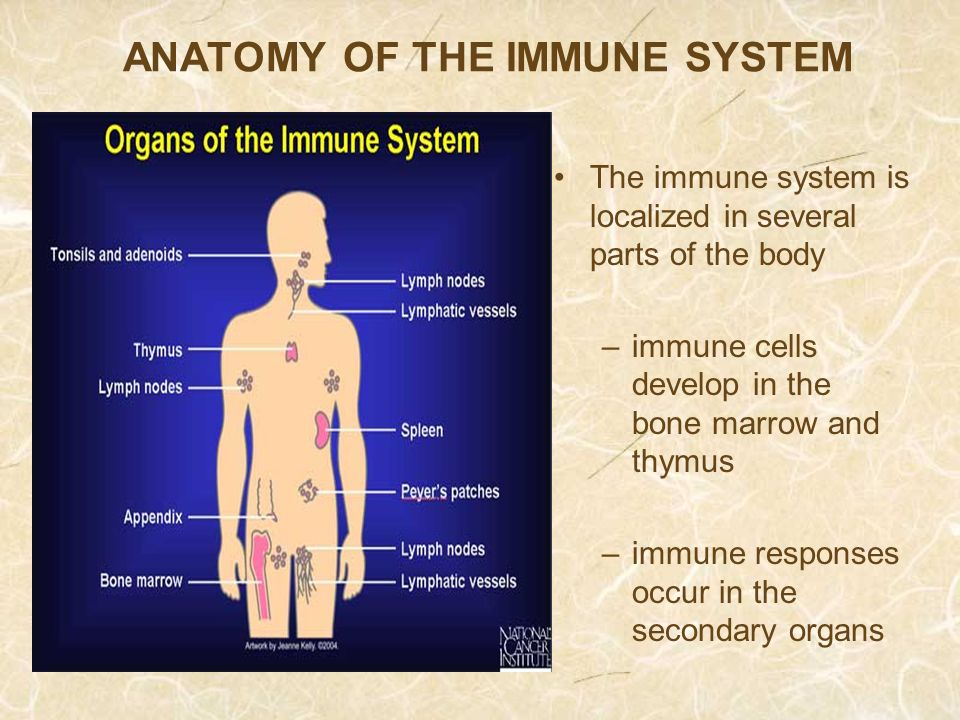 The Immune System What Happens When We Get Sick Why Do We Get