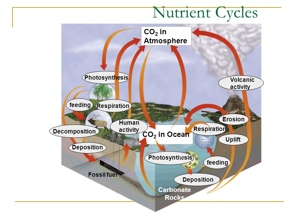 Nutrient Cycles CO 2 in Atmosphere Photosynthesis feeding Respiration Deposition Carbonate Rocks Deposition Decomposition Fossil fuel Volcanic activity Uplift Erosion Respiration Human activity CO 2 in Ocean Photosynthesis