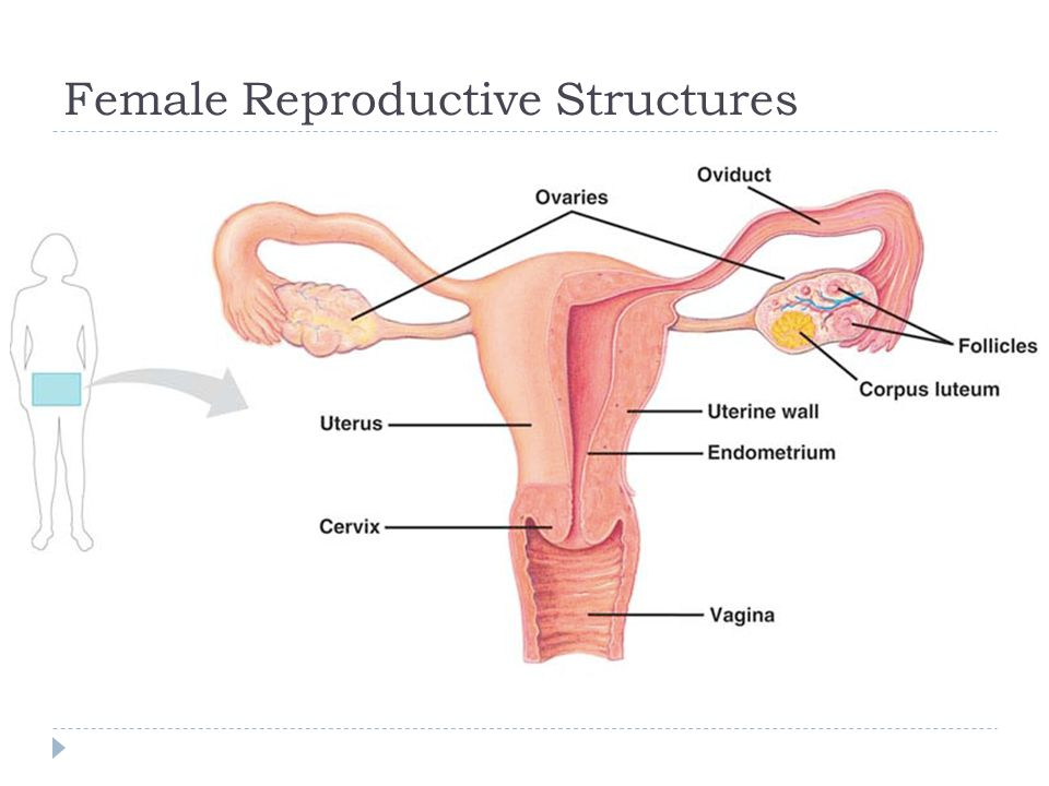 2 female reproductive structures