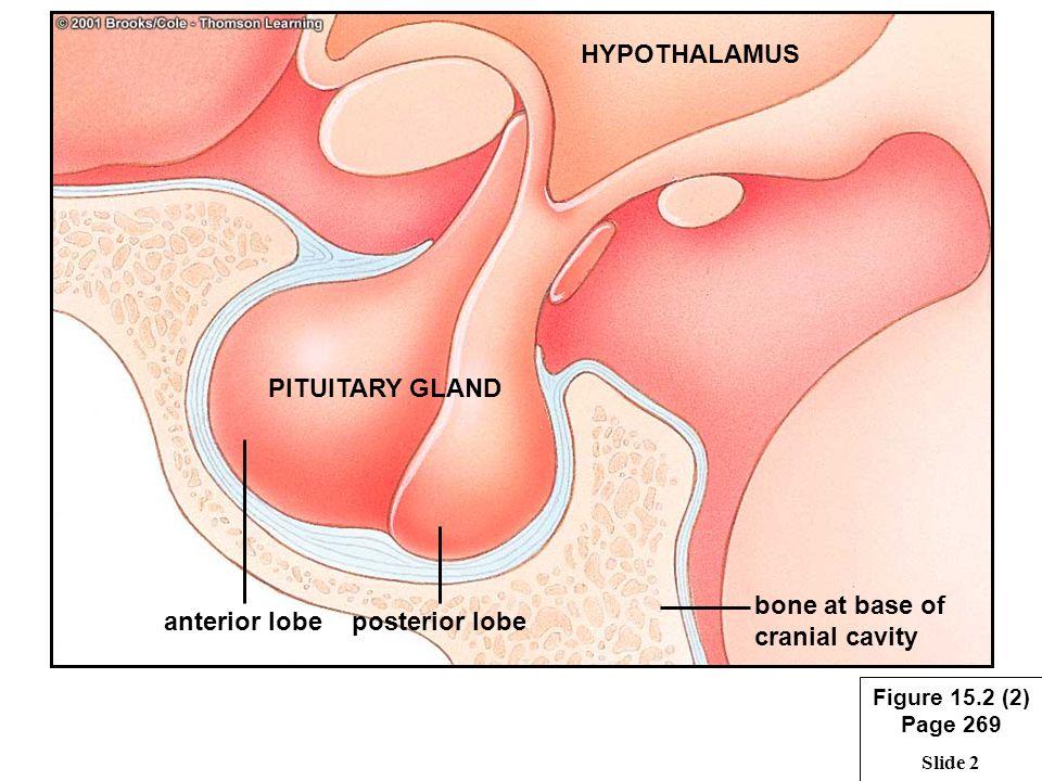 Slide 1 Hypothalamus Pituitary Gland Adrenal Glands Ovaries Testes