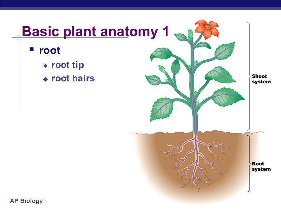 AP Biology Plant Anatomy AP Biology Basic plant anatomy 1  root ...