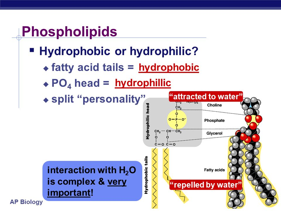 AP Biology Phospholipids  Structure:  glycerol + 2 fatty acids + PO 4  PO 4 = negatively charged