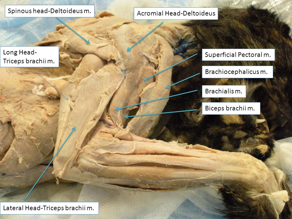 Cat Forelimb Muscles Long Head Triceps Brachii M Lateral Head