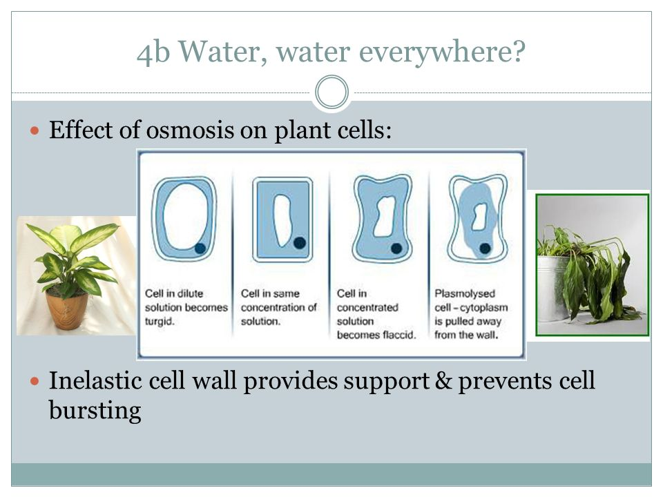 effect of osmosis on plant cells