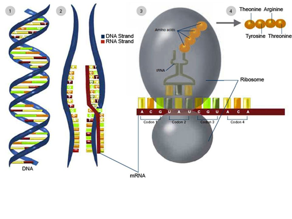 facts about dna strands 5 in order to expose dna bases (which act as a template for dna replication) the two strands of dna are first separated by initiator proteins, and helicase continues to separate the strands along the length of the molecule as separation occurs, single-stranded binding proteins attach.
