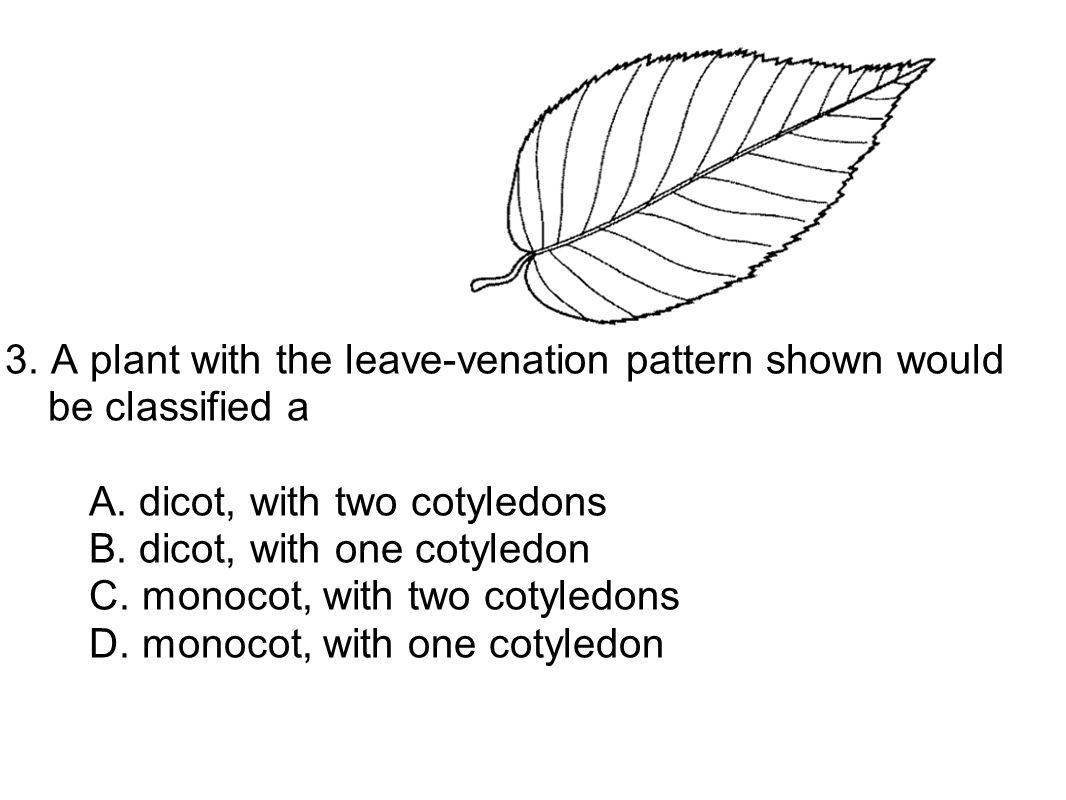 3. A plant with the leave-venation pattern shown would be classified a A.