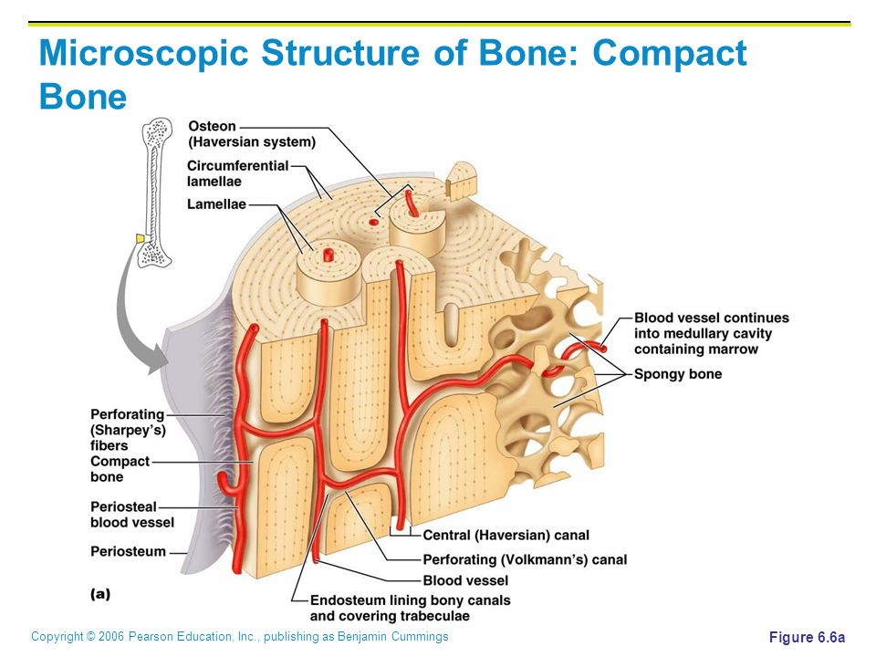 Chapter 6 Skeletal System Copyright C 2006 Pearson Education Inc Publishing As Benjamin Cummings Ppt Download