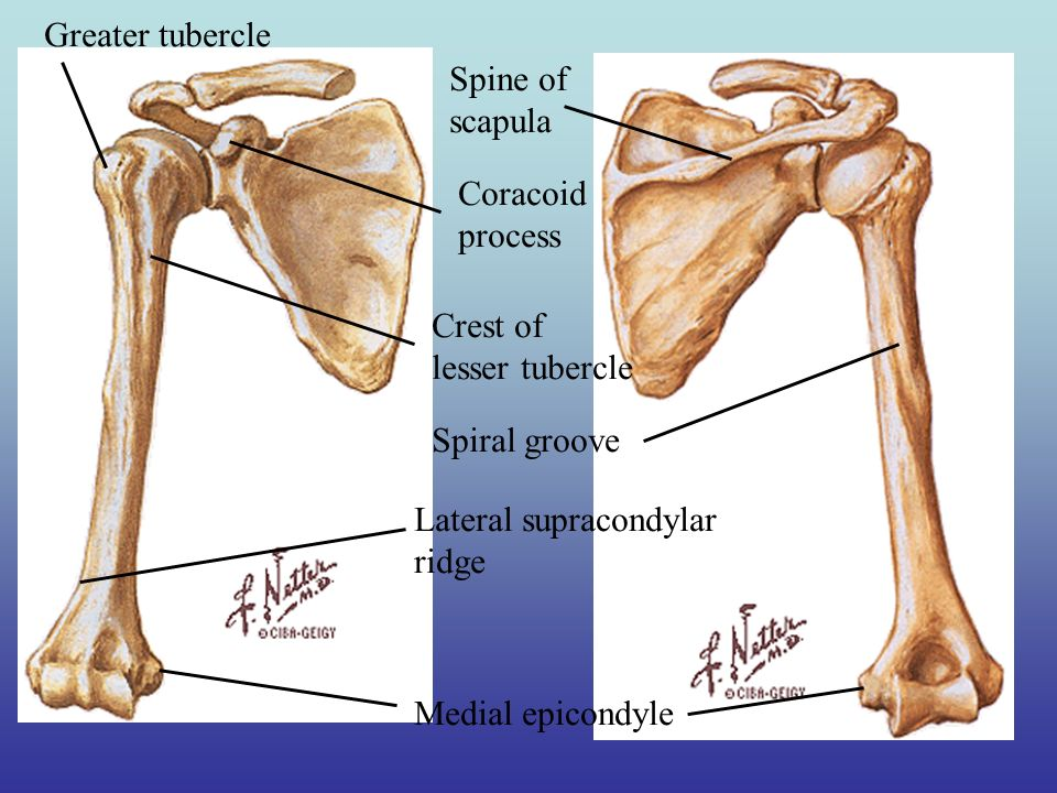 Human Anatomy and Body Systems. Organizing the Human Body. - ppt ...