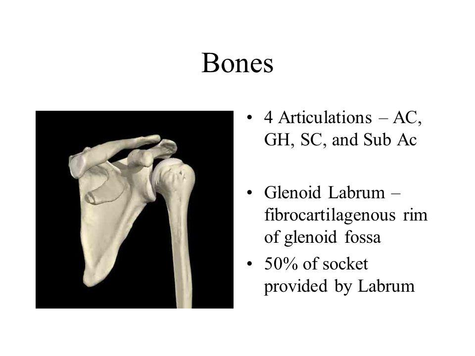 The Shoulder Anatomy Bones 4 Articulations Ac Gh Sc And Sub Ac