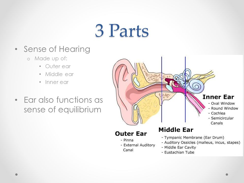Parts Of The Ear >> Sense Of Hearing And Equilibrium 3 Parts Sense Of Hearing O Made Up