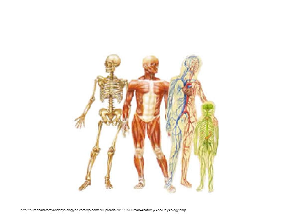 Introduction to Human Anatomy and Physiology Chapter ppt download