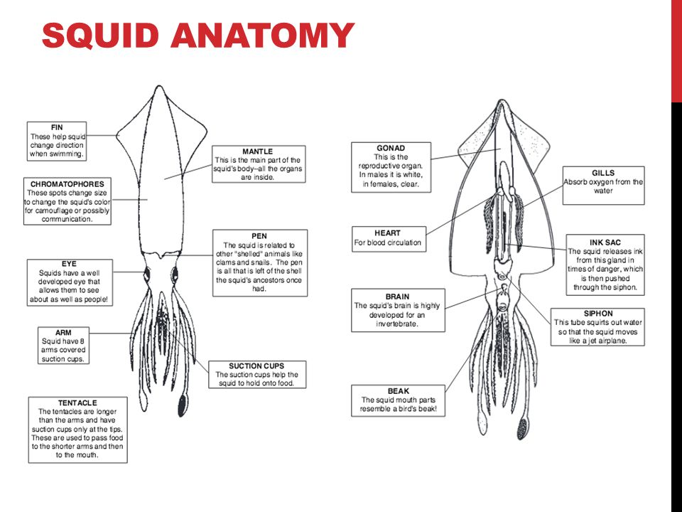 ANIMAL ANATOMY & PHYSIOLOGY SQUID DISSECTION. ENTRY TASK What ...