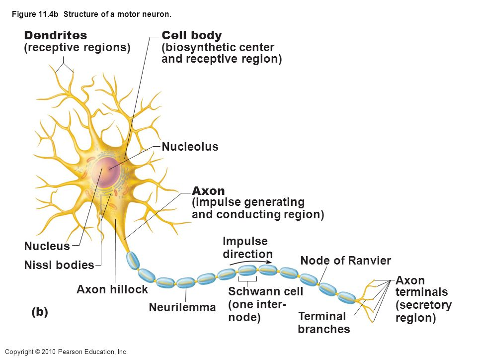 Neuron diagram pearson introduction to electrical wiring diagrams the nervous system and tissue organization the nervous system has 3 rh slideplayer com motor neuron diagram motor neuron diagram ccuart Image collections