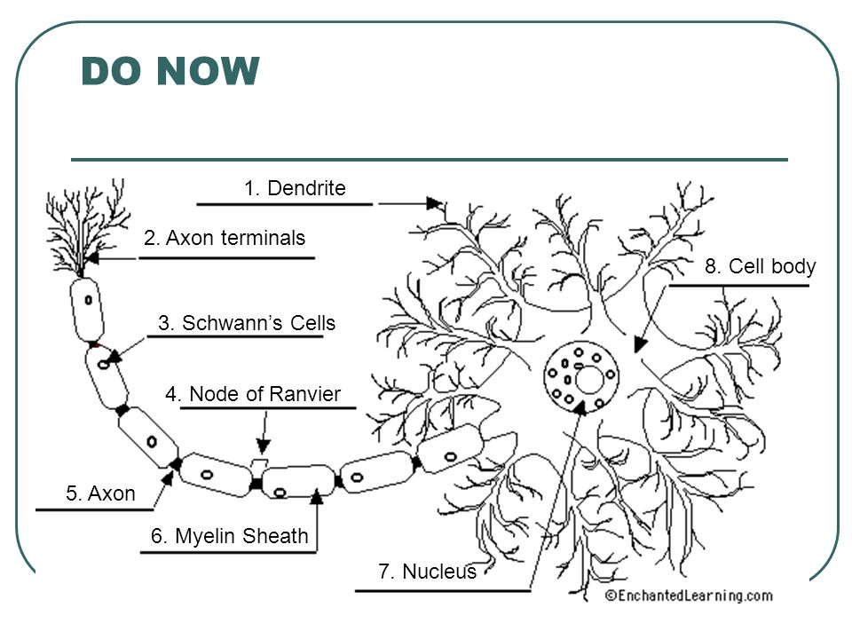 Do now on your paper label the following parts of the neuron 2 do ccuart Gallery