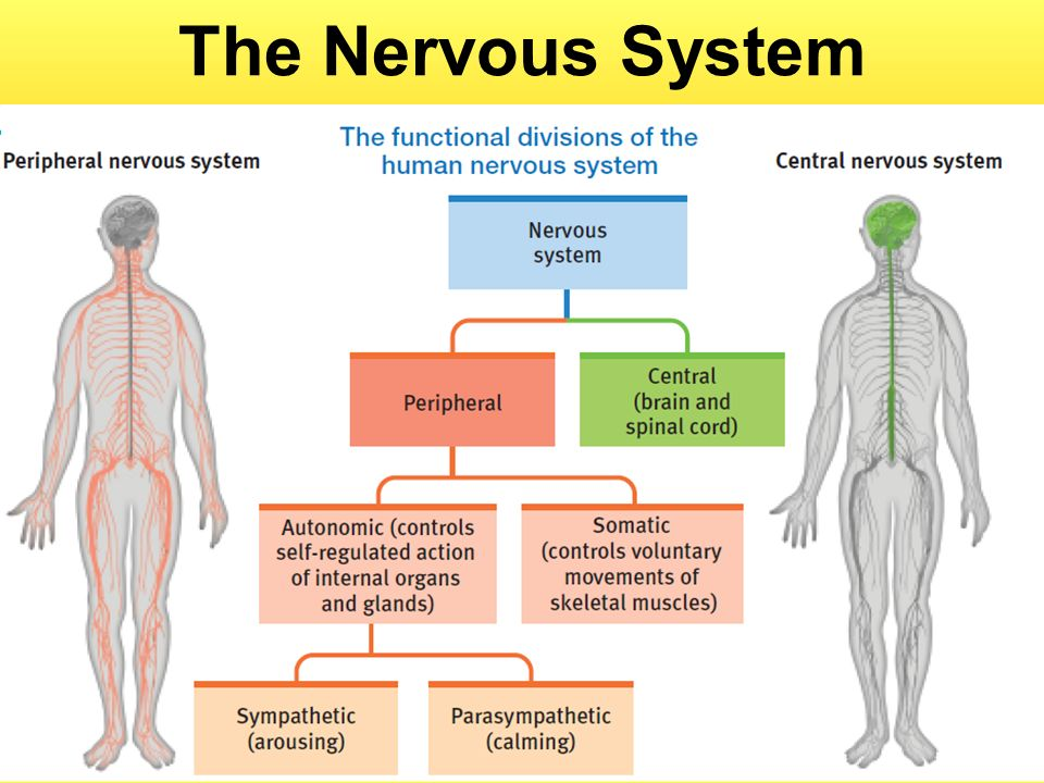assignment on nervous system The brain, the nervous system, and the sensory system the brain can be considered as one of the most complex organs in the human body despite the complexities associated with the brain, it still plays a major role in promoting the functioning of the body as well as determining the behavior of an.