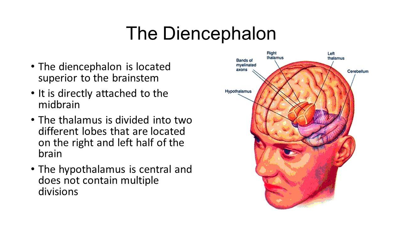 three parts of the diencephalon