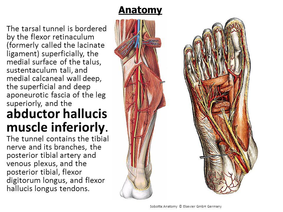 Tarsal Tunnel Anatomy Gallery - human body anatomy