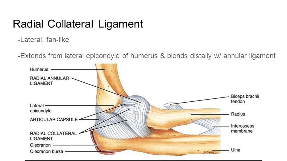 Elbow Nathan Duncan Katelyn Maley Surface Anatomy Ppt Download