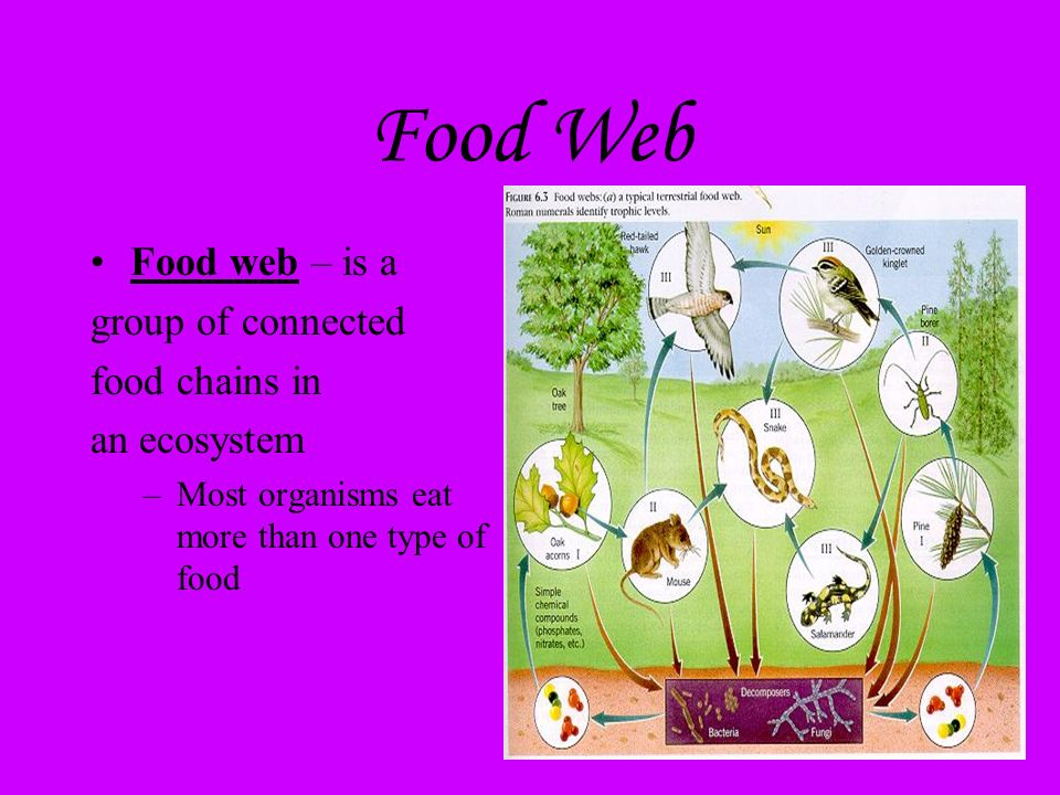 Food Web Food web – is a group of connected food chains in an ecosystem –Most organisms eat more than one type of food