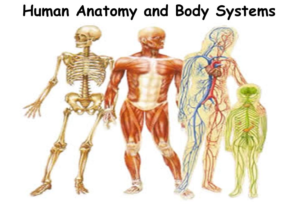 Human Anatomy And Body Systems Levels Of Organization Remember The